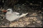 Photo of Phaethon rubricauda (red-tailed tropicbird) - Gynther, I.,DEHP