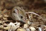 Photo of Pseudomys novaehollandiae (New Holland mouse) - Thomson, B.,Bruce Thomson