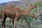 Photo of Camelus dromedarius (one-humped camel) - Storch, D.,Department of National Parks, Sport and Racing,2016