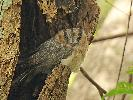 Photo of Aegotheles cristatus (Australian owlet-nightjar) - Jones, K.,Ken Jones,2017