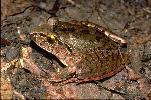 Photo of Mixophyes iteratus (giant barred frog) - Gynther, I.,DEHP,2000