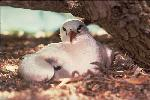 Photo of Phaethon rubricauda (red-tailed tropicbird) - Gynther, I.,Ian Gynther,1993