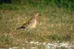 Photo of Pluvialis fulva (Pacific golden plover) - Gynther, I.,Ian Gynther,1993