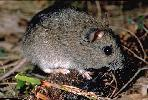 Photo of Pseudomys oralis (Hastings River mouse) - Gynther, I.,DEHP,1995