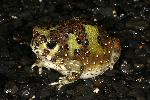 Photo of Notaden bennettii (holy cross frog) - Hines, H.,H.B. Hines DES,2008
