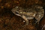 Photo of Crinia parinsignifera (beeping froglet) - Hines, H.,H.B. Hines DES,2008