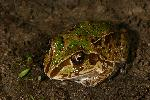 Photo of Cyclorana novaehollandiae (eastern snapping frog) - Hines, H.,H.B. Hines DES,2009