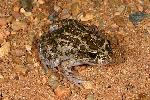 Photo of Limnodynastes convexiusculus (marbled frog) - Hines, H.,H.B. Hines DES,2005