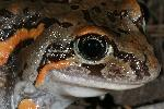 Photo of Limnodynastes salmini (salmon striped frog) - Hines, H.,H.B. Hines DES,2005