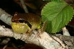 Photo of Litoria brevipalmata (green thighed frog) - Hines, H.,H.B. Hines DES,2007