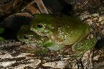 Photo of Litoria caerulea (common green treefrog) - Hines, H.,H.B. Hines DES,2007