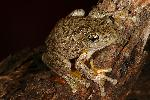 Photo of Litoria peronii (emerald spotted treefrog) - Hines, H.,H.B. Hines DES,2008