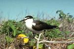 Photo of Onychoprion anaethetus (bridled tern) - Gynther, I.,Ian Gynther,1988