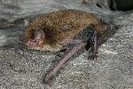 Photo of Scotorepens greyii (little broad-nosed bat) - Hines, H.,H.B. Hines DES,2009