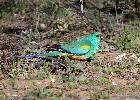 Photo of Psephotus varius (mulga parrot) - Jones, K.,Ken Jones,2015