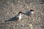 Photo of Sterna dougallii (roseate tern) - Gynther, I.,Ian Gynther