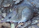 Photo of Perameles nasuta (long-nosed bandicoot) - Ball, T.,QPWS,2003