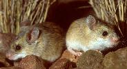Photo of Pseudomys delicatulus (delicate mouse) - Queensland Government