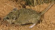 Photo of Sminthopsis macroura (stripe-faced dunnart) - Queensland Government,1977