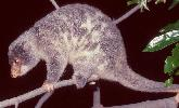 Photo of Spilocuscus maculatus (common spotted cuscus) - Queensland Government