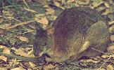 Photo of Thylogale thetis (red-necked pademelon) - Queensland Government,1980