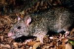 Photo of Uromys caudimaculatus (giant white-tailed rat) - Queensland Government,1979
