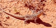 Photo of Ctenophorus nuchalis (central netted dragon) - Queensland Government