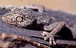 Photo of Strophurus ciliaris (spiny-tailed gecko) - Queensland Government