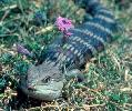 Photo of Tiliqua scincoides (eastern blue-tongued lizard) - Queensland Government,1981
