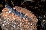 Photo of Ctenophorus nuchalis (central netted dragon) - Dollery, C.,QPWS,2001