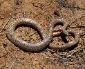 Photo of Pseudonaja guttata (speckled brown snake) - Dollery, C.,QPWS,2001