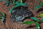 Photo of Limnodynastes convexiusculus (marbled frog) - Queensland Government,1978