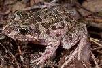 Photo of Limnodynastes convexiusculus (marbled frog) - McDonald, K.,Queensland Government,1997