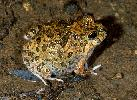 Photo of Platyplectrum ornatum (ornate burrowing frog) - Hines, H.,Queensland Government,1998