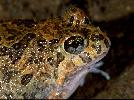 Photo of Platyplectrum ornatum (ornate burrowing frog) - Hines, H.,Queensland Government,1999