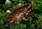 Photo of Philoria loveridgei (masked mountainfrog) - Hines, H.,Queensland Government,1998