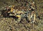 Photo of Limnodynastes salmini (salmon striped frog) - McDonald, K.,Queensland Government,2000