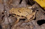 Photo of Assa darlingtoni (pouched frog) - Hines, H.,Queensland Government,1998