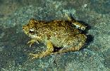 Photo of Crinia signifera (clicking froglet) - Hines, H.,Queensland Government,1999
