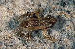 Photo of Crinia tinnula (wallum froglet) - Hines, H.,Queensland Government,1998