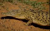 Photo of Crocodylus porosus (estuarine crocodile) - Queensland Government,1989