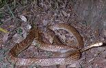Photo of Oxyuranus scutellatus (coastal taipan) - Queensland Government
