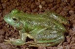 Photo of Litoria dahlii (northern waterfrog) - McDonald, K.,Queensland Government,1998
