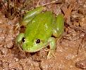 Photo of Litoria dahlii (northern waterfrog) - McDonald, K.,Queensland Government,1999