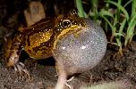 Photo of Cyclorana brevipes (superb collared frog) - McDonald, K.,Queensland Government,1997