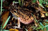 Photo of Cyclorana brevipes (superb collared frog) - Hines, H.,Queensland Government,1999
