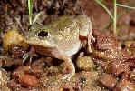 Photo of Cyclorana manya (little collared frog) - McDonald, K.,Queensland Government,1999