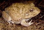 Photo of Cyclorana novaehollandiae (eastern snapping frog) - McDonald, K.,Queensland Government,1997