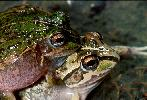Photo of Cyclorana verrucosa (rough collared frog) - Hines, H.,Queensland Government,1999