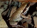 Photo of Litoria brevipalmata (green thighed frog) - Hines, H.,Queensland Government,1998